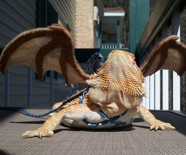 Bearded Dragon Wings Leash