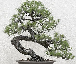 Black Pine Bonsai Tree Kit