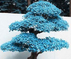 Blue Maple Bonsai Tree Seeds