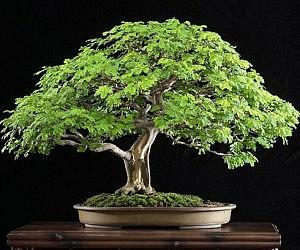 https://cdn.thisiswhyimbroke.com/images/brazilian-rain-bonsai-tree-300x250.jpg