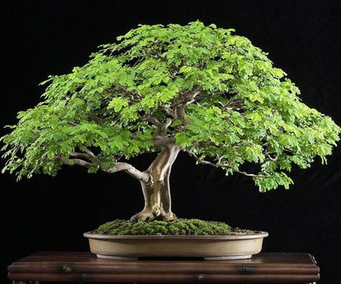 Brazilian Rain Bonsai Tree - coolthings.us