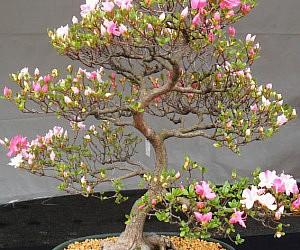 Cherry Blossom Bonsai Seeds