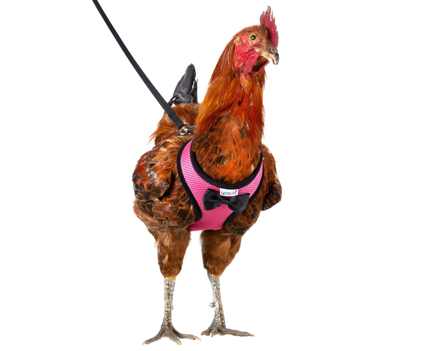 Chicken Harness And Leash - coolthings.us