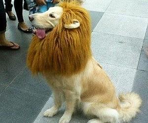 Lion Pet Wig