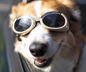 Doggy Goggles