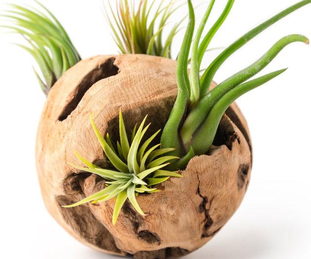 Driftwood Orb Air Plant Vase