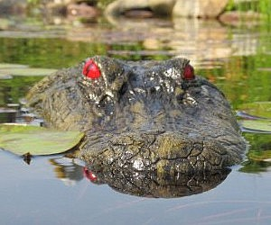 Floating Alligator Head Decoy
