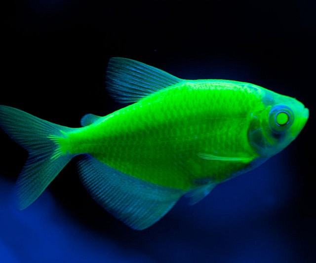 Glow in the dark fish for Glow in dark fish
