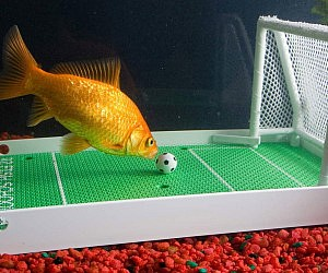 Goldfish Soccer Game