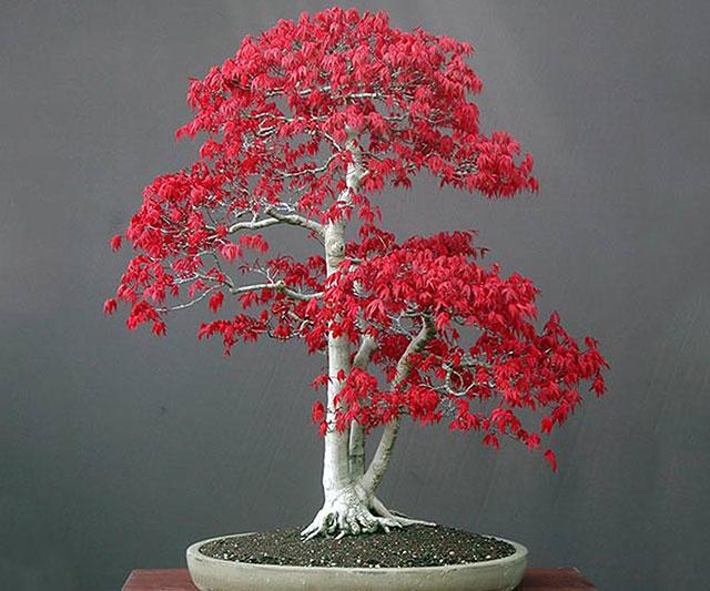 Bonsai Red Maple Tree Seeds