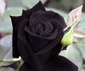 Heirloom Deep Purple Rose Seeds