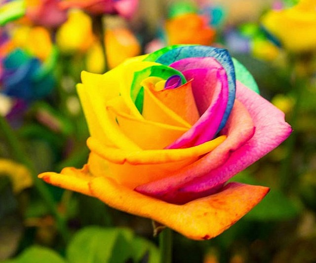 Rainbow colored roses for Dual color roses