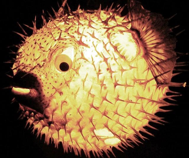 Floating fish lamp for Puffer fish lamp