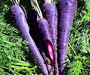 Vintage Purple Carrots