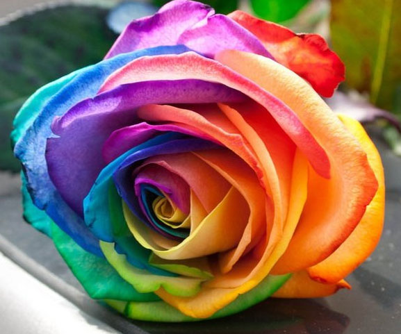 Rainbow roses buy the nursery rainbow rose seeds online at for Pictures of multi colored roses