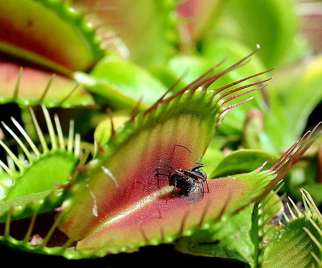 venus flytrap Venus flytraps roots are very sensitive to water and soil that has high and even modest mineral content because of this there are only 3 types of water that are consistently safe to use for venus flytraps, reverse osmosis water, distilled water, and clean rain water.